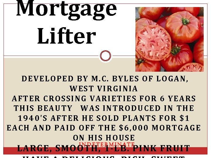 Mortgage Lifter DEVELOPED BY M. C. BYLES OF LOGAN, WEST VIRGINIA AFTER CROSSING VARIETIES