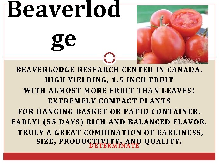 Beaverlod ge BEAVERLODGE RESEARCH CENTER IN CANADA. HIGH YIELDING, 1. 5 INCH FRUIT WITH