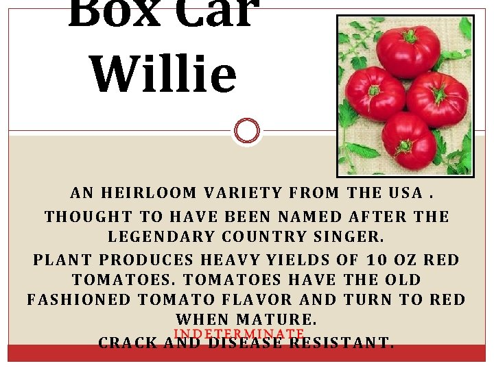 Box Car Willie AN HEIRLOOM VARIETY FROM THE USA. THOUGHT TO HAVE BEEN NAMED