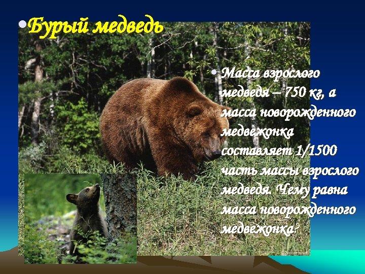 • Бурый медведь • Масса взрослого медведя – 750 кг, а масса новорожденного