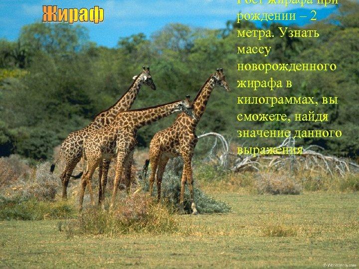 Жираф Рост жирафа при рождении – 2 метра. Узнать массу новорожденного жирафа в килограммах,