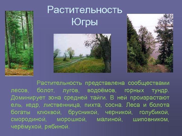 Растительность Югры Растительность представлена сообществами лесов, болот, лугов, водоёмов, горных тундр. Доминирует зона средней