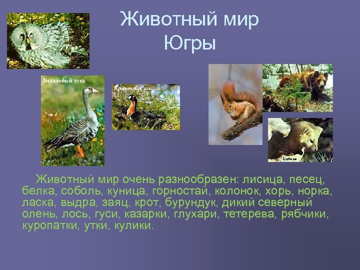 Животный мир Югры Животный мир очень разнообразен: лисица, песец, белка, соболь, куница, горностай, колонок,