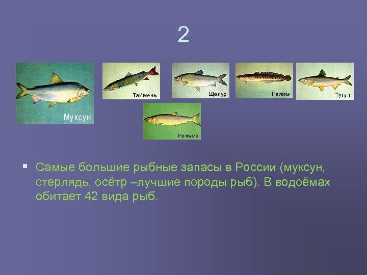 2 § Самые большие рыбные запасы в России (муксун, стерлядь, осётр –лучшие породы рыб).