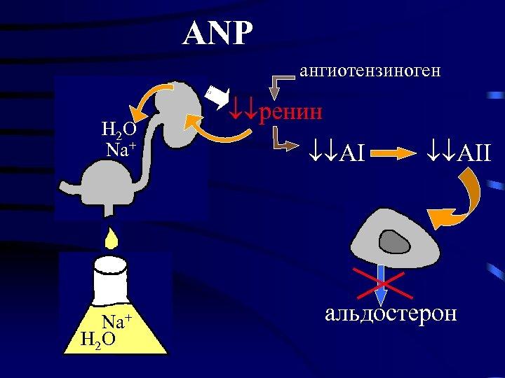 ANP ангиотензиноген H 2 O Na+ H 2 O ренин AII альдостерон