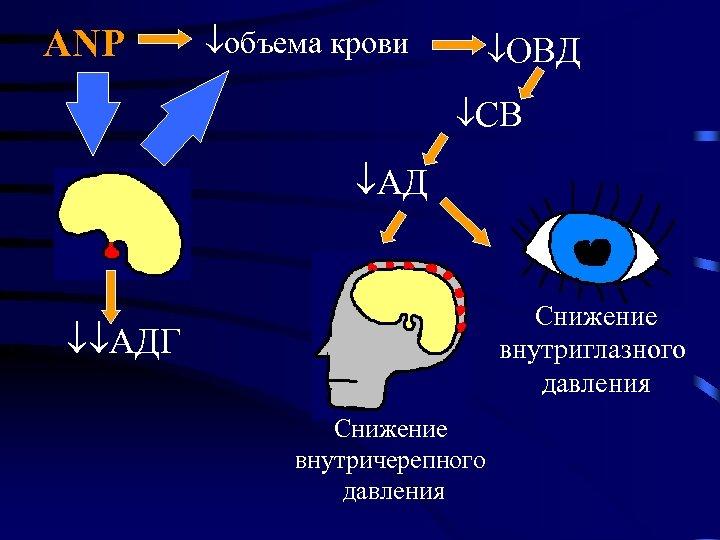 ANP объема крови ОВД СВ АД Снижение внутриглазного давления АДГ Снижение внутричерепного давления