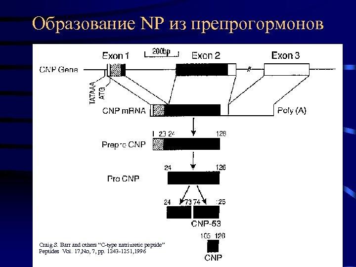 """Образование NP из препрогормонов Craig S. Barr and others """"C-type natriuretic peptide"""" Peptides Vol."""