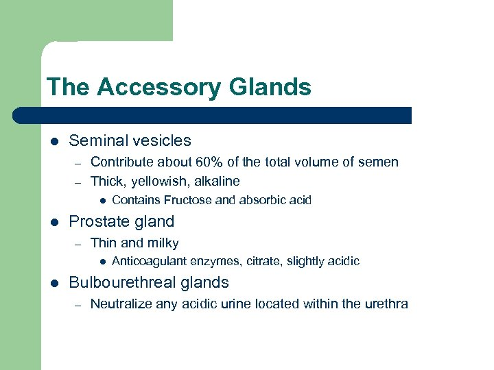 The Accessory Glands l Seminal vesicles – – Contribute about 60% of the total