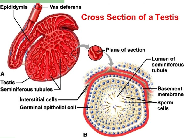 Cross Section of a Testis