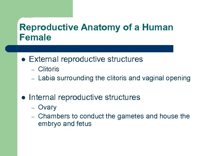 Reproductive Anatomy of a Human Female l External reproductive structures – – l Clitoris