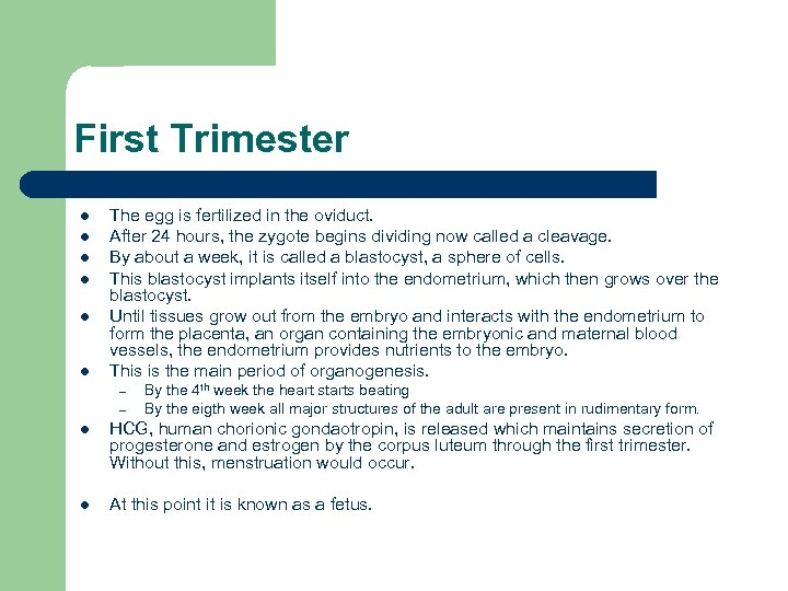 First Trimester l l l The egg is fertilized in the oviduct. After 24