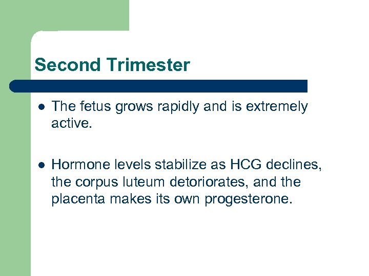 Second Trimester l The fetus grows rapidly and is extremely active. l Hormone levels