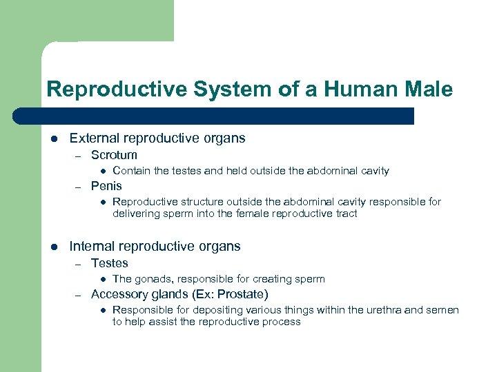 Reproductive System of a Human Male l External reproductive organs – Scrotum l –