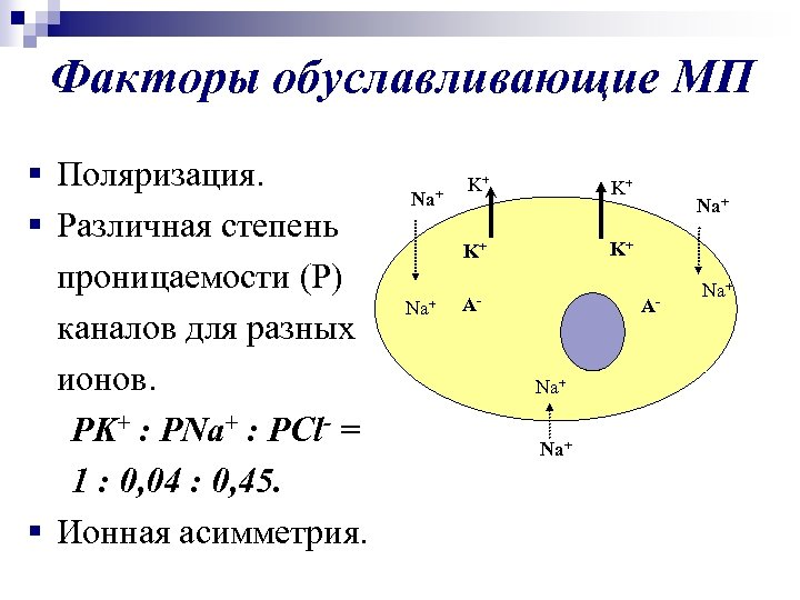 Факторы обуславливающие МП § Поляризация. § Различная степень проницаемости (Р) каналов для разных ионов.