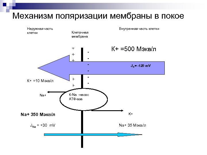 Механизм поляризации мембраны в покое Наружная часть клетки К+ =10 Мэкв/л Na+ 350 Мэкв/л