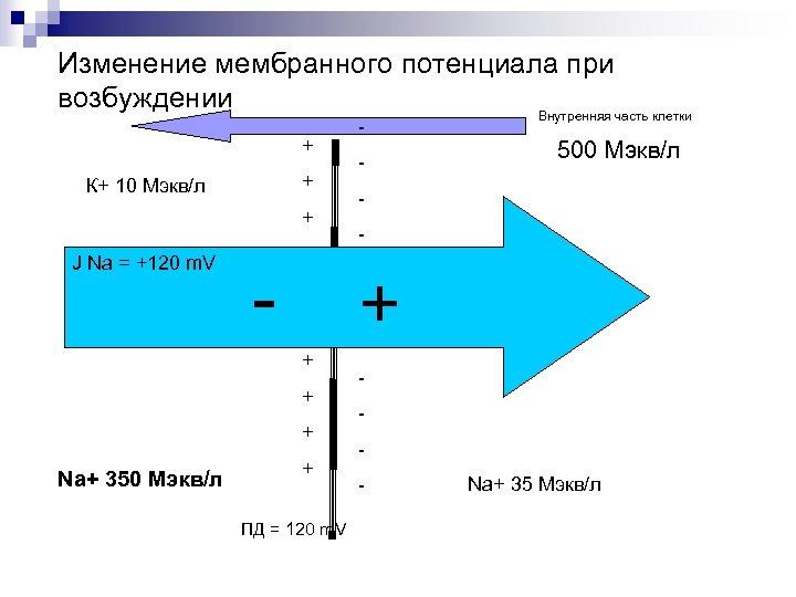 Изменение мембранного потенциала при возбуждении Внутренняя часть клетки + + К+ 10 Мэкв/л +