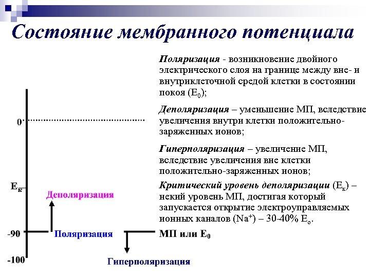 Состояние мембранного потенциала Поляризация - возникновение двойного электрического слоя на границе между вне- и