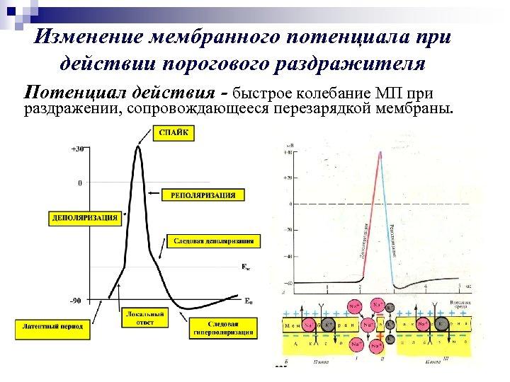 Изменение мембранного потенциала при действии порогового раздражителя Потенциал действия - быстрое колебание МП при