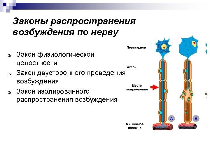 Законы распространения возбуждения по нерву ь ь ь Закон физиологической целостности Закон двустороннего проведения