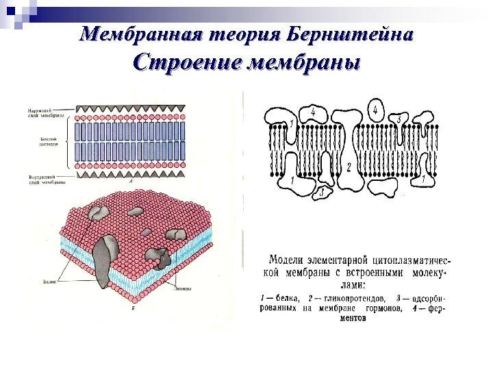 Мембранная теория Бернштейна Строение мембраны