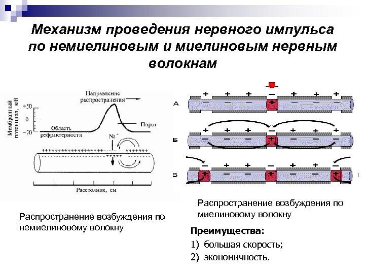 Механизм проведения нервного импульса по немиелиновым и миелиновым нервным волокнам Распространение возбуждения по немиелиновому