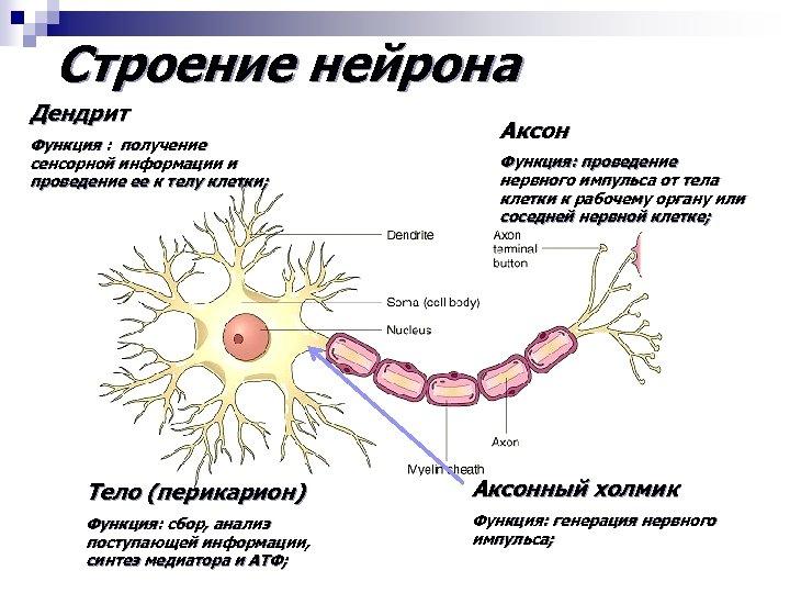 Строение нейрона Дендрит Функция : получение сенсорной информации и проведение ее к телу клетки;