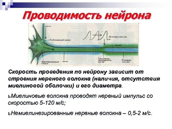 Проводимость нейрона Скорость проведения по нейрону зависит от строения нервного волокна (наличия, отсутствия миелиновой
