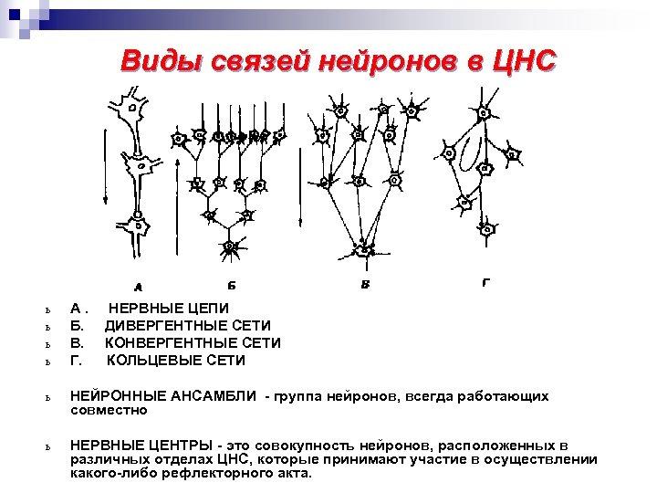 Виды связей нейронов в ЦНС ь ь А. Б. В. Г. НЕРВНЫЕ ЦЕПИ ДИВЕРГЕНТНЫЕ