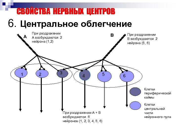 СВОЙСТВА НЕРВНЫХ ЦЕНТРОВ 6. Центральное облегчение А 1 При раздражении А возбуждаются 2 нейрона