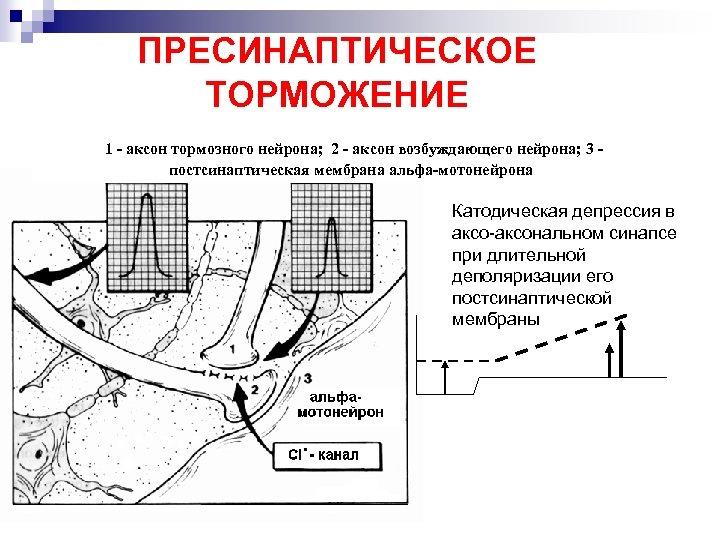 ПРЕСИНАПТИЧЕСКОЕ ТОРМОЖЕНИЕ 1 - аксон тормозного нейрона; 2 - аксон возбуждающего нейрона; 3 постсинаптическая