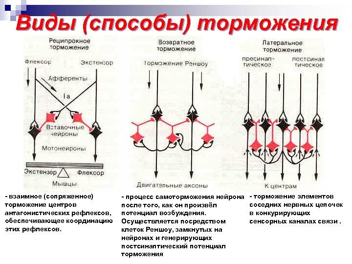 Виды (способы) торможения - взаимное (сопряженное) торможение центров антагонистических рефлексов, обеспечивающее координацию этих рефлексов.