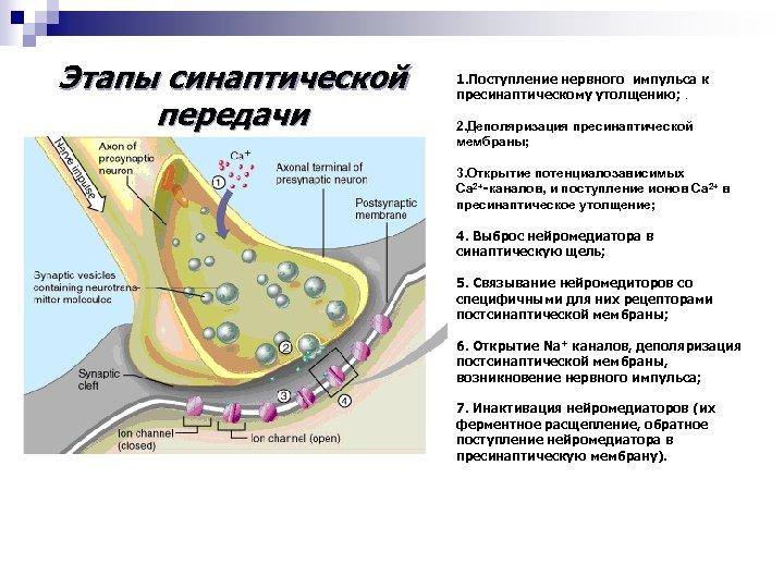 Этапы синаптической передачи 1. Поступление нервного импульса к пресинаптическому утолщению; . 2. Деполяризация пресинаптической