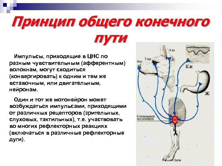 Принцип общего конечного пути Импульсы, приходящие в ЦНС по разным чувствительным (афферентным) волокнам, могут