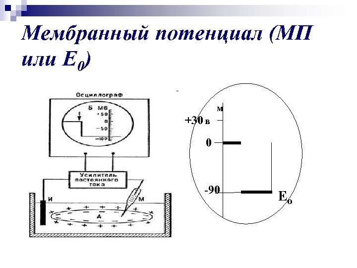Мембранный потенциал (МП или Е 0) м +30 в 0 -90 Ео