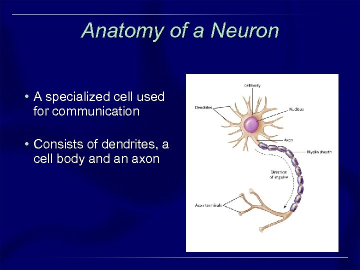 Anatomy of a Neuron • A specialized cell used for communication • Consists of