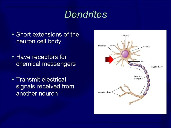 Dendrites • Short extensions of the neuron cell body • Have receptors for chemical
