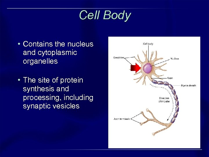 Cell Body • Contains the nucleus and cytoplasmic organelles • The site of protein