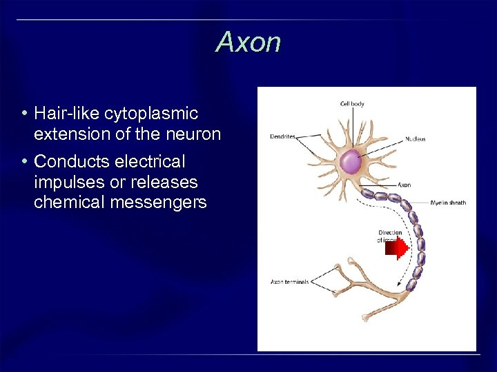 Axon • Hair-like cytoplasmic extension of the neuron • Conducts electrical impulses or releases