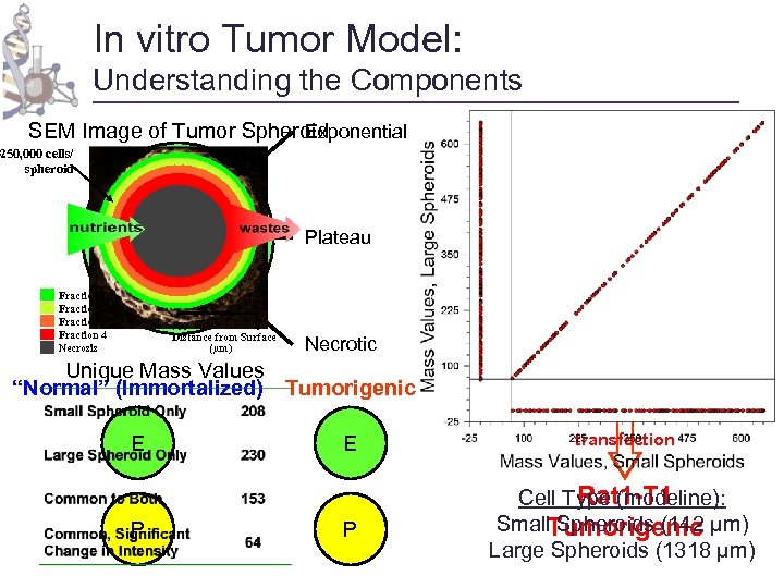 In vitro Tumor Model: Understanding the Components Exponential SEM Image of Tumor Spheroid ~250,
