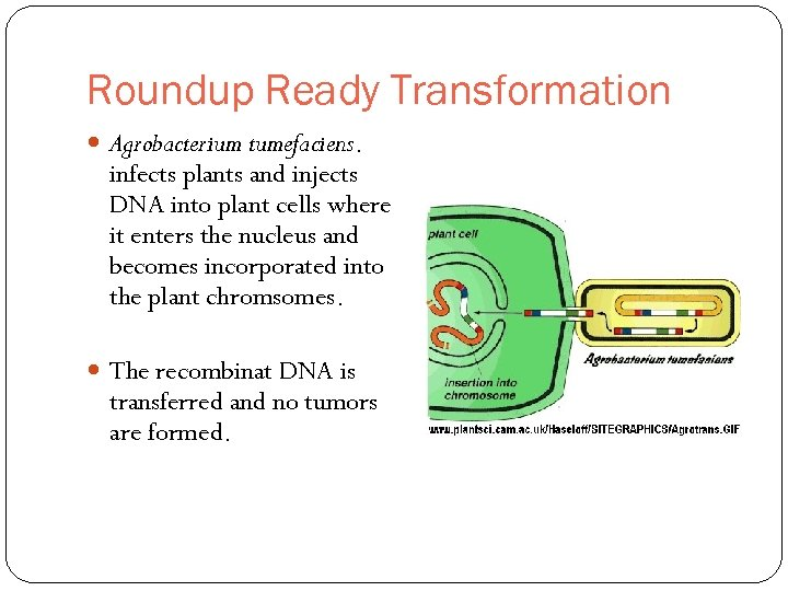 Roundup Ready Transformation Agrobacterium tumefaciens. infects plants and injects DNA into plant cells where