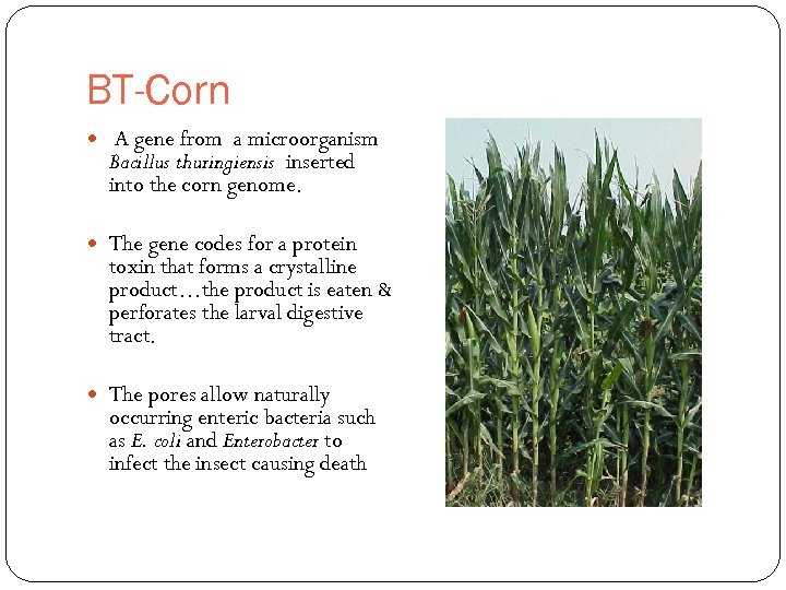 BT-Corn A gene from a microorganism Bacillus thuringiensis inserted into the corn genome. The