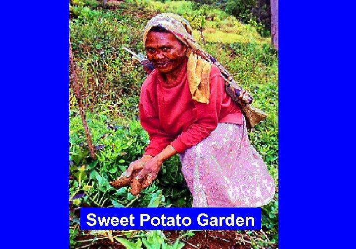 Sweet Potato Garden