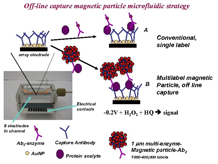 Off-line capture magnetic particle microfluidic strategy A Conventional, single label array electrode B Electrical