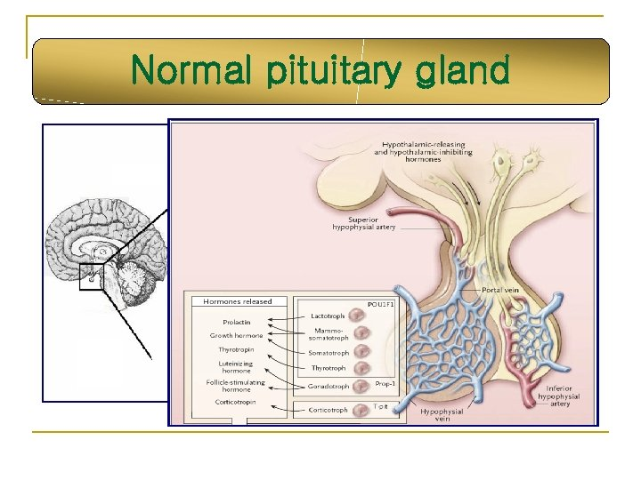 Normal pituitary gland