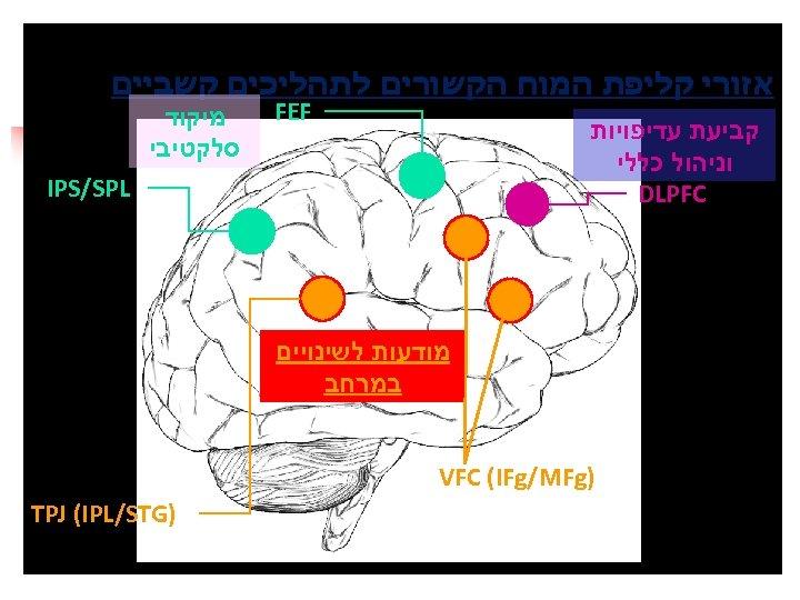 אזורי קליפת המוח הקשורים לתהליכים קשביים FEF קביעת עדיפויות וניהול כללי DLPFC מיקוד