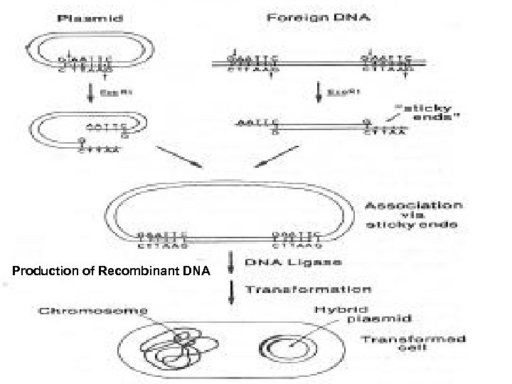 Production of Recombinant DNA