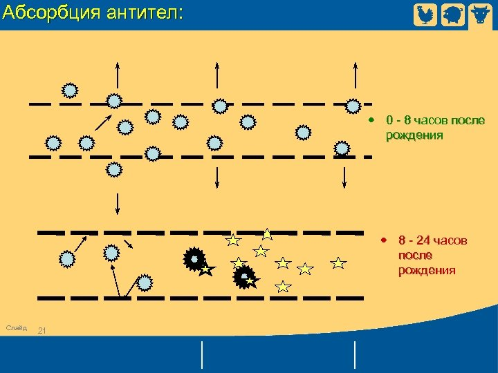 Абсорбция антител: • 0 - 8 часов после рождения • 8 - 24 часов