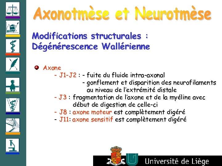 Modifications structurales : Dégénérescence Wallérienne Axone - J 1 -J 2 : - fuite