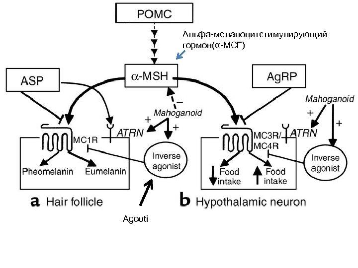 Альфа-меланоцитстимулирующий гормон(α-МСГ) Agouti
