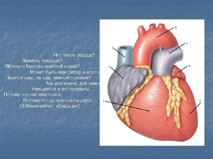 Что такое сердце? Камень твердый? Яблоко с багрово-красной кожей? Может быть меж ребер